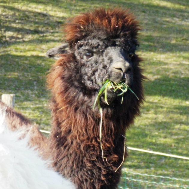 Info über Alpaka