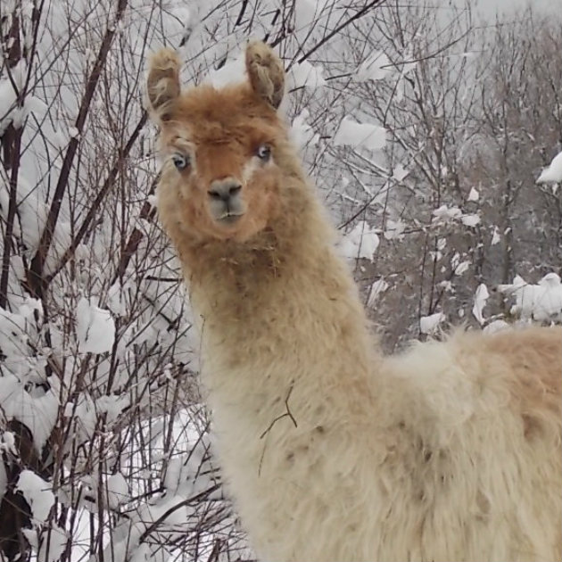 Info über Lama