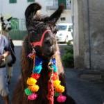 Mit Lama und Alpaka unterwegs auf dem Ligurischen Höhenweg