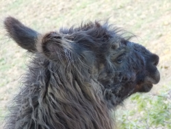 alpaca-.jpg