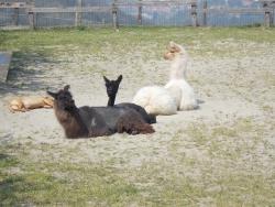 lama-e-alpaca-cavatore