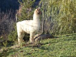 passeggiate-con-lama-e-alpaka-in-monferrato