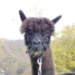 Alpaka: informazioni e curiosità