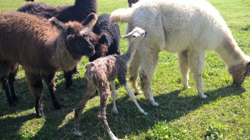 Pet teraphy Monferrato. Lama neonato