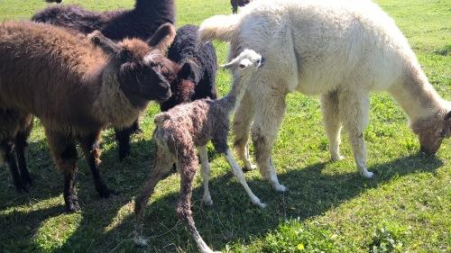 Pet teraphy Monferrato. Lama neonato