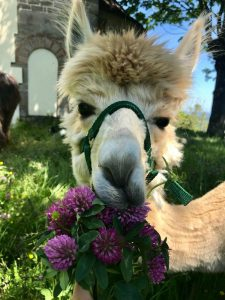 lama mangia fiori di trifoglio
