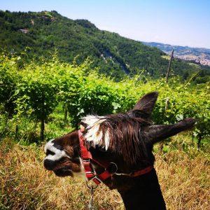 alpaka che cammina tra le vigne del monferrato